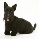 Scottie Dog Image